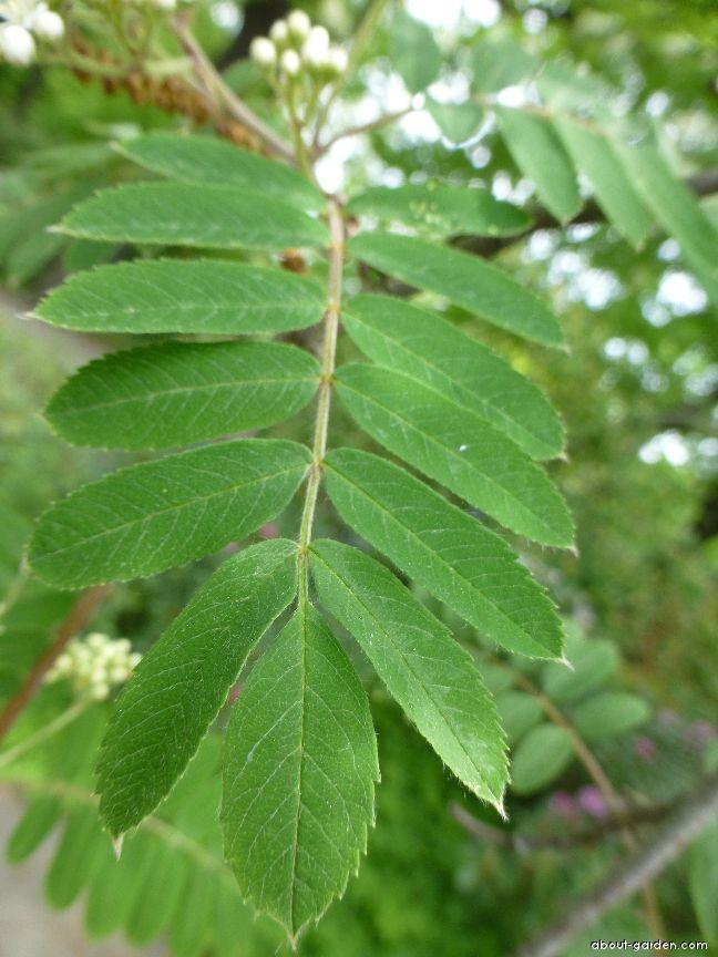 Jeřáb ptačí - list (Sorbus aucuparia)