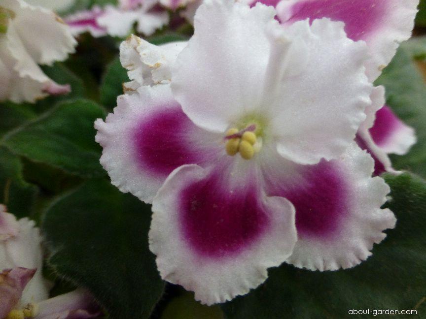 Africká fialka Crimson Ice - květ (Saintpaulia ionantha)