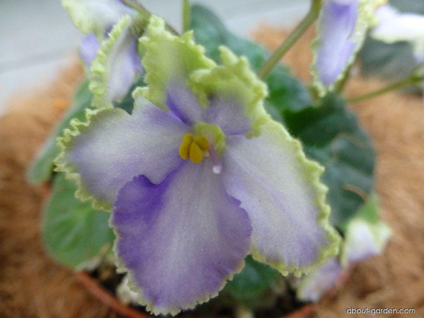 Africká fialka Optimara EverGrace - květ (Saintpaulia ionantha)