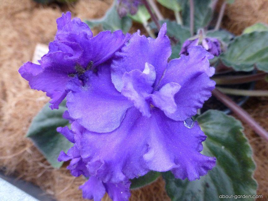 Africká fialka Silverglade Plums - květ (Saintpaulia ionantha)