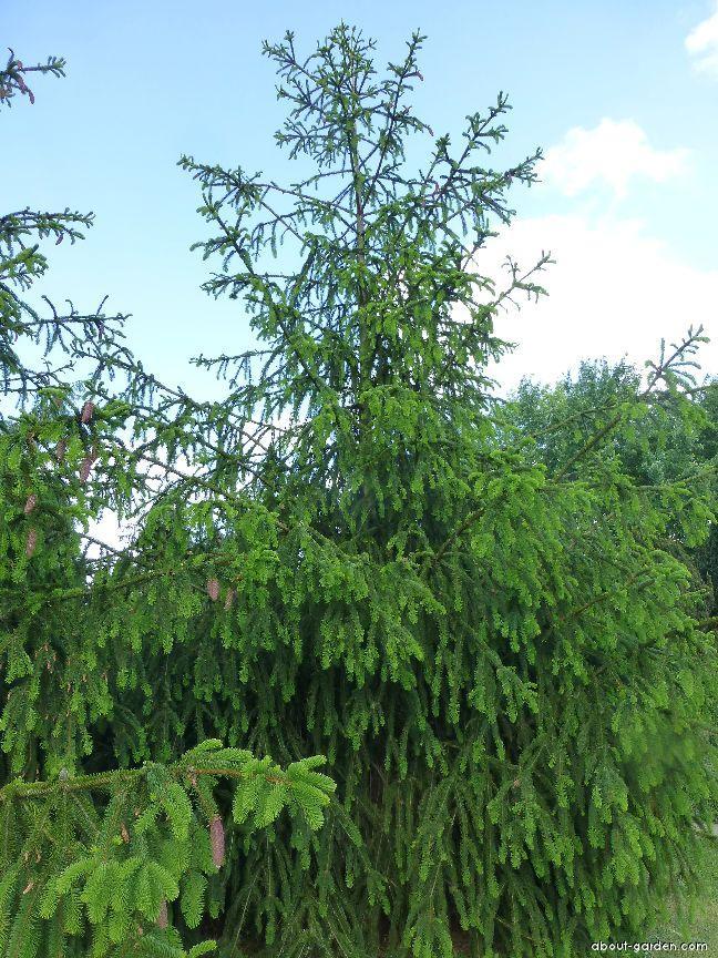 Smrk ztepilý (Picea abies Viminalis)