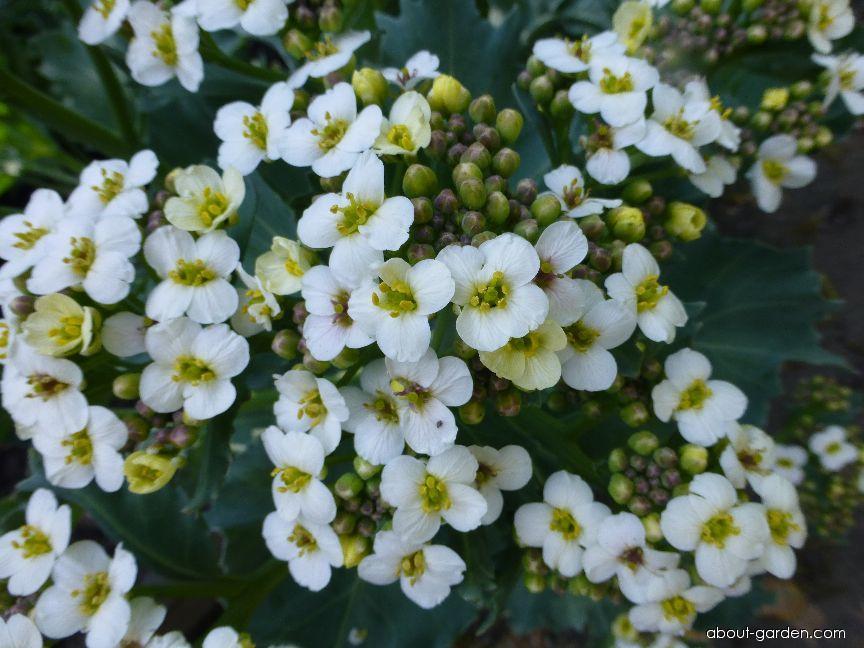 Katrán tatarský - květ (Crambe tataria)