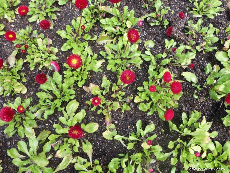 English Daisy - Bellis perennis Rominette Red