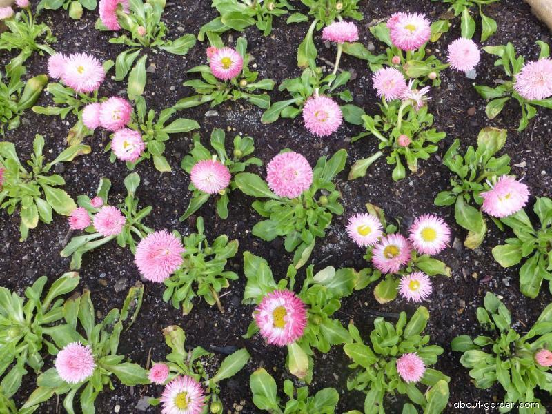 Bellis perennis Robella (English Daisy)
