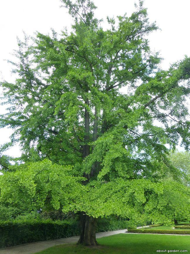 Ginkgo biloba L. (maidenhair tree)