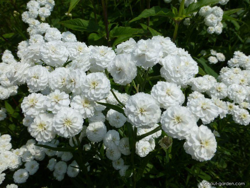 Sneezewort - Achillea ptarmica Flore Pleno