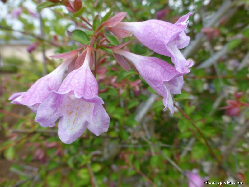 Abélie - květ (Abelia longituba)