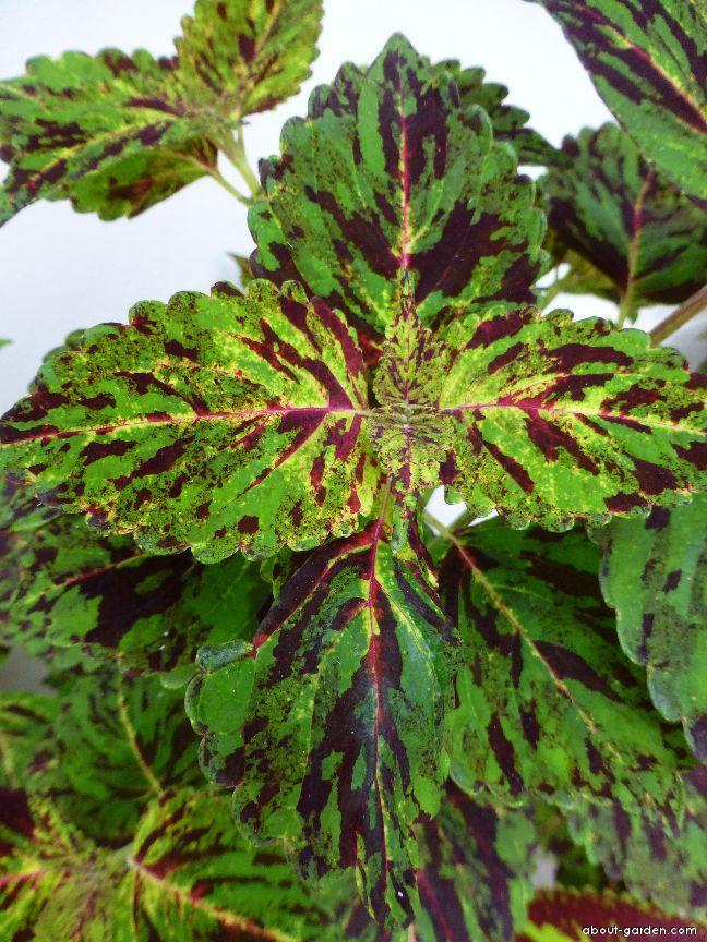 Coleus - Plectranthus scutellarioides