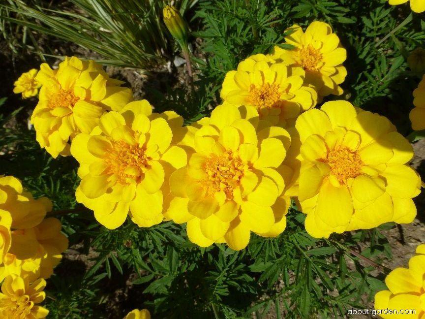 French Marigold - Tagetes patula Durango Yellow