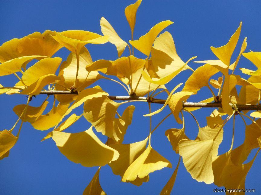 Jinan dvoulaločný - podzimní zbarvení (Ginkgo biloba)