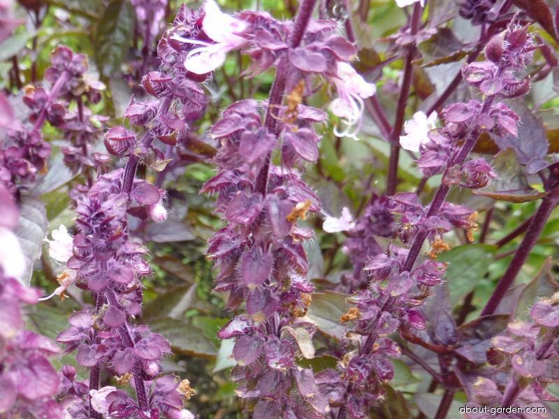 Sweet Basil - Ocimum basilicum Ararat