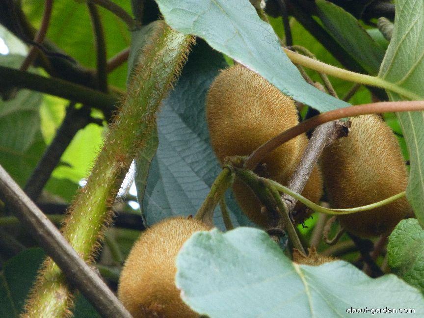 Aktinidie čínská (Actinidia chinensis)