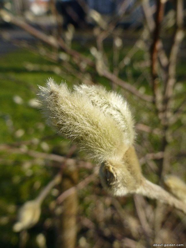 Star Magnolia - Magnolia stellata