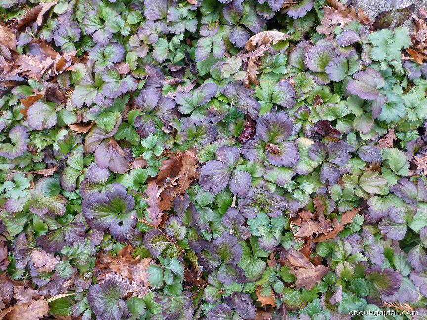 Mochnička trojčetná - zimní list (Waldsteinia ternata)