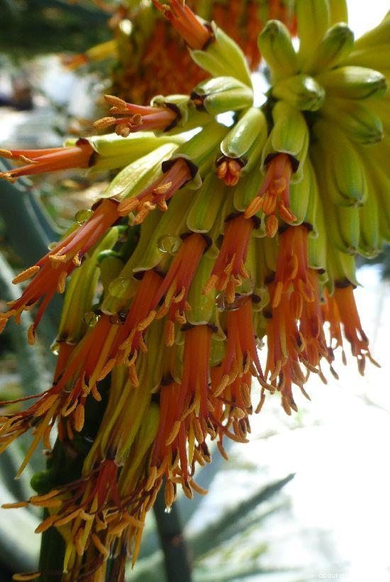 Aloe - květ (Aloe marlothii)