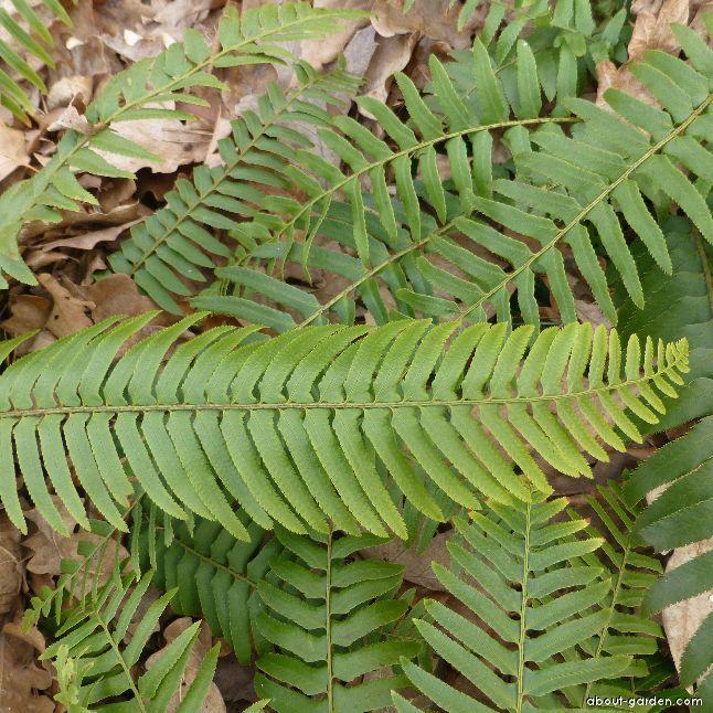 Kapradina - (Polystichum munitum)