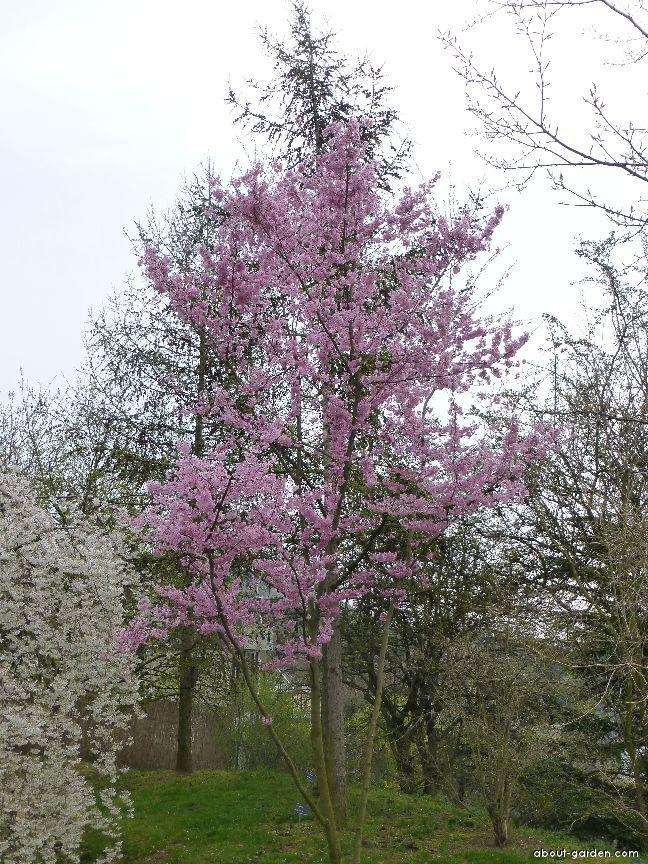 Winter-flowering Cherry - Prunus subhirtella Fukubana