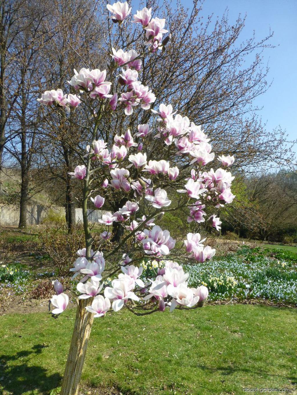 Magnolia - Magnolia Atlas