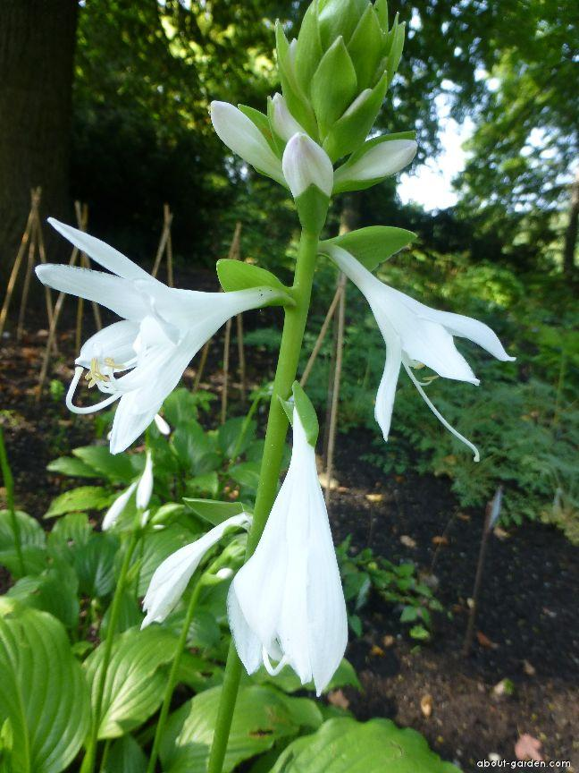 Photo Plantain Lily Royal Standard About Gardencom