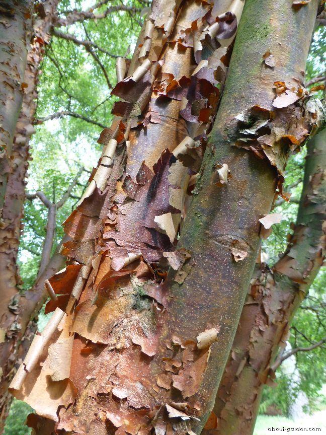 Paperbark maple - Acer griseum