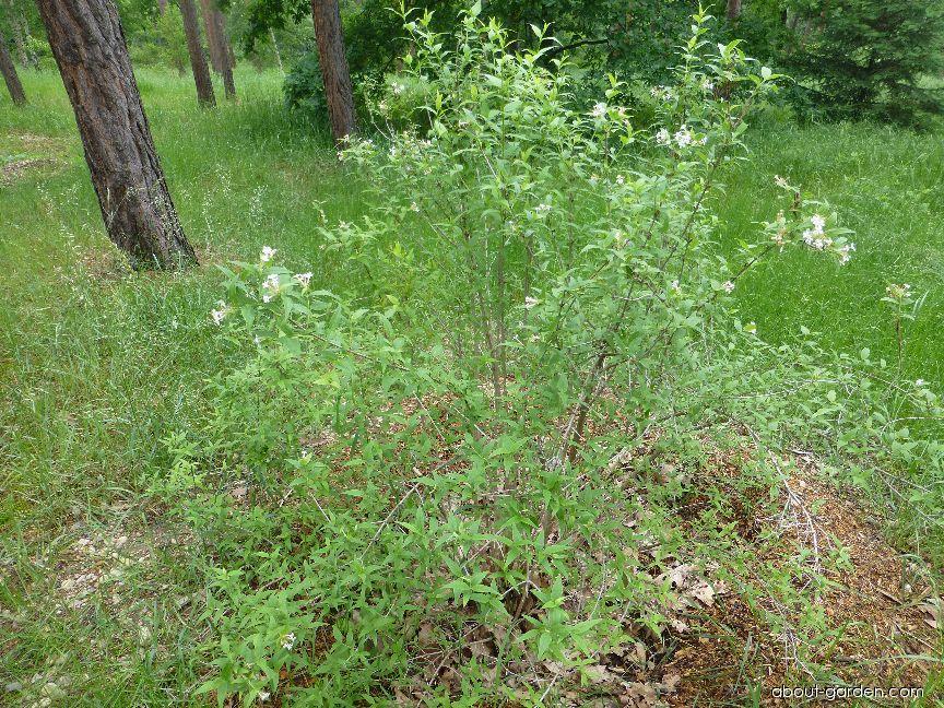 Abélie trojkvětá (Abelia triflora)