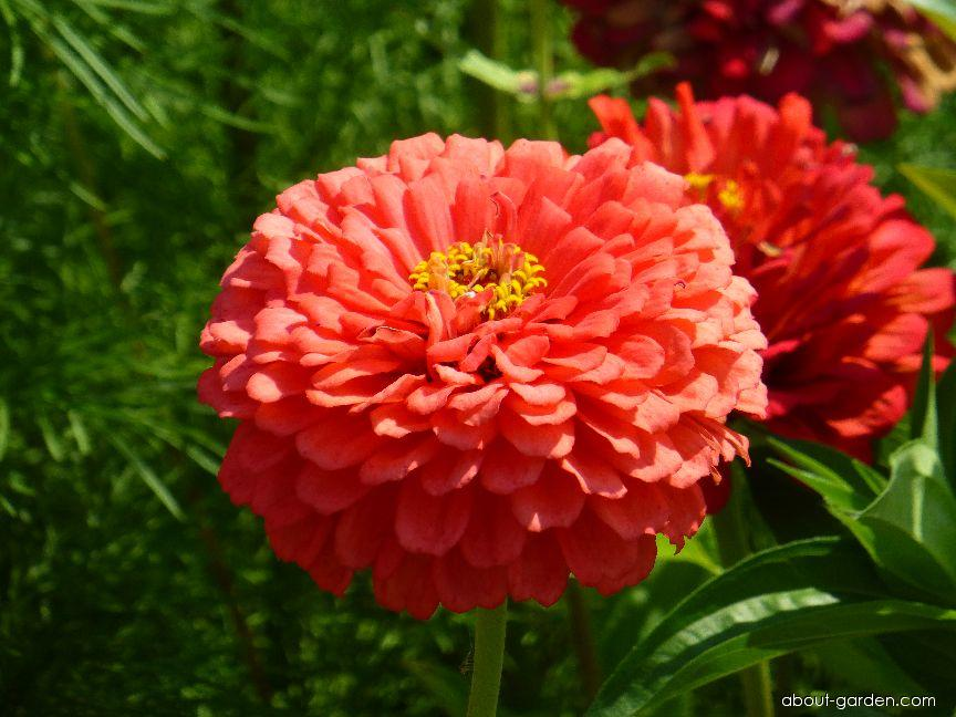 Youth-and-age - Zinnia elegans Coral Giant