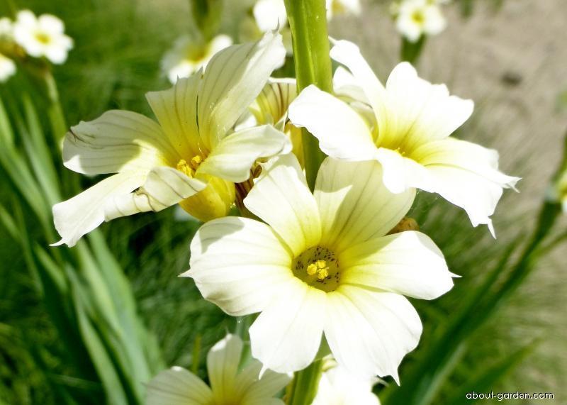 Badil žíhaný - květ (Sisyrinchium striatum)