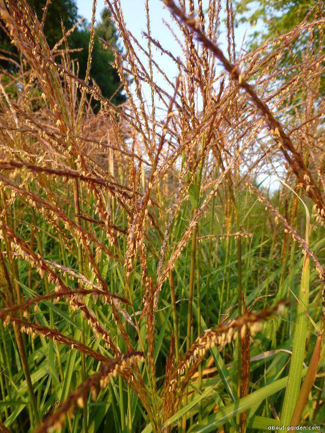 Chinese Silver Grass - Miscanthus sinensis Zwerg Zebra