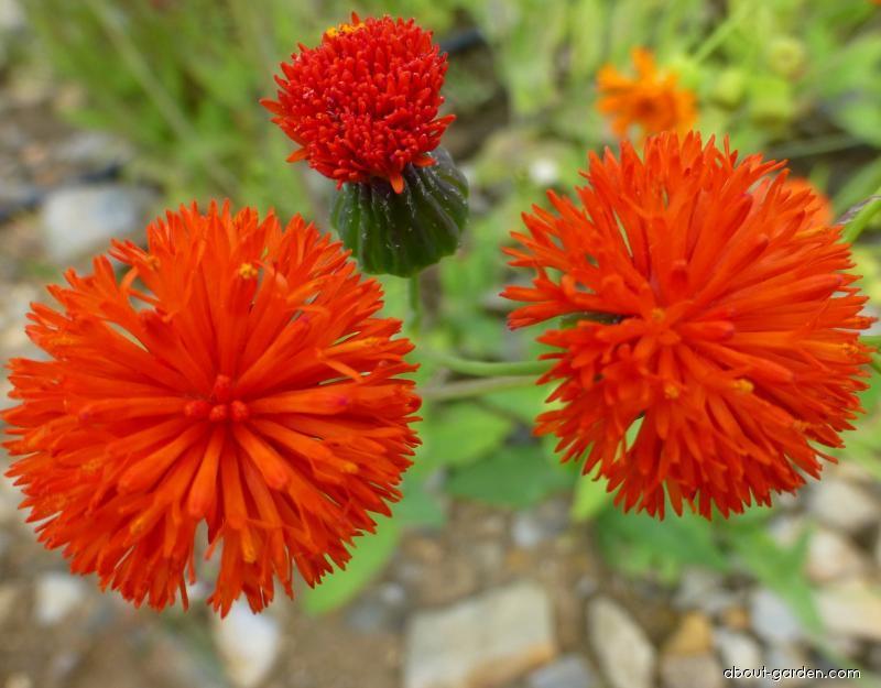 Milostna - květ (Emilia coccinea)