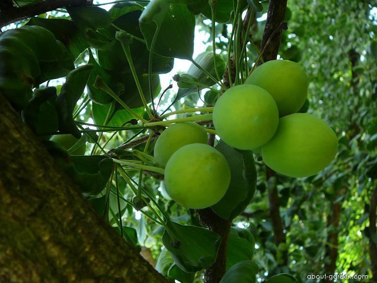 Maidenhair tree - Ginkgo biloba