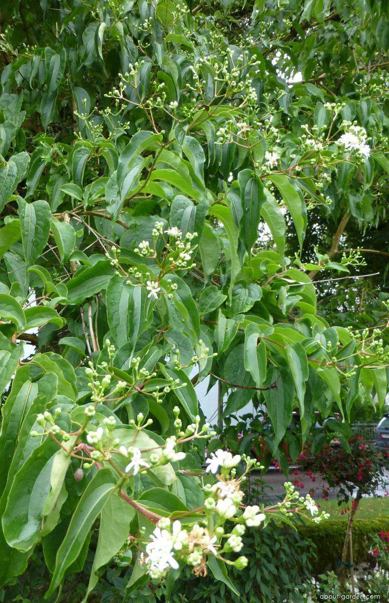 Heptakodium jasmínovité (Heptacodium miconioides)