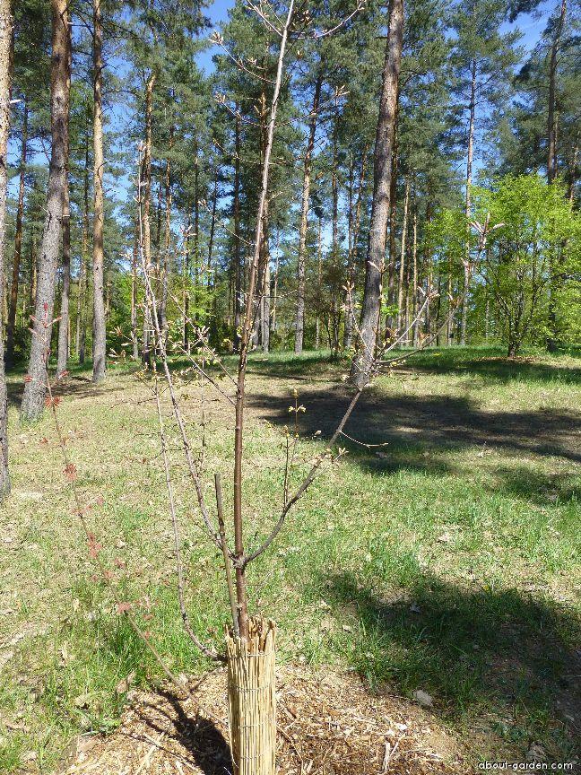 Javor šedý - habitus v dubnu (Acer griseum)