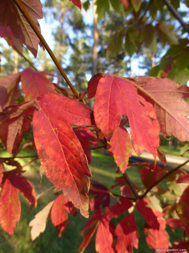 Javor šedý - podzimní zbarvení (Acer griseum)
