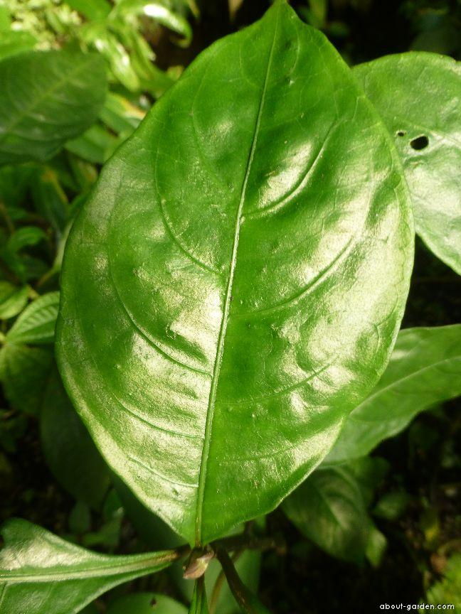 Afelandra - list (Aphelandra aurantiaca)