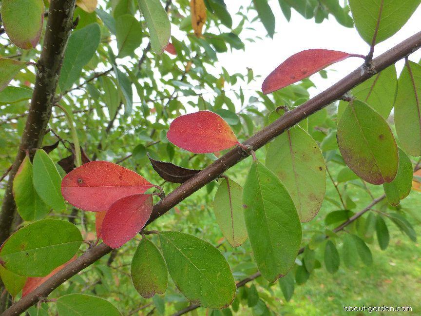 Skalník - podzimní zbarvení (Cotoneaster arbusculus)