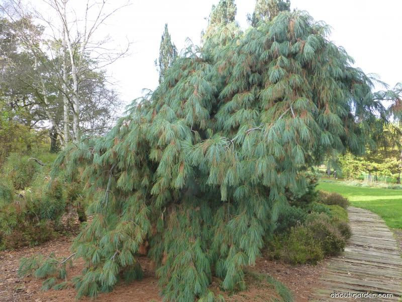Borovice vejmutovka pohorská (Pinus strobus x monticola Pendula)