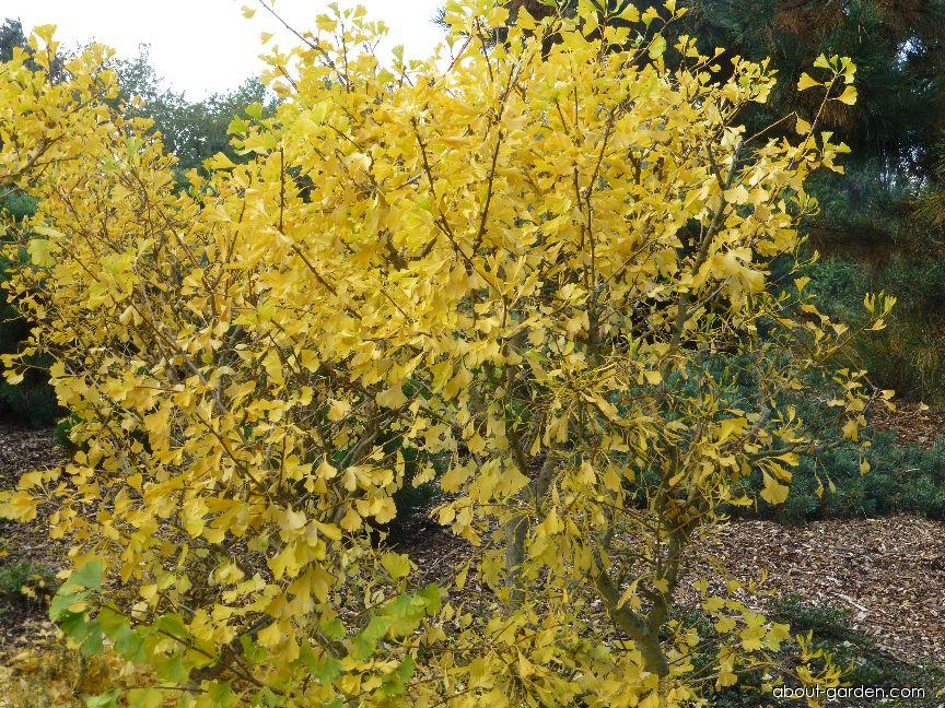 Maidenhair tree - Ginkgo biloba Chotek
