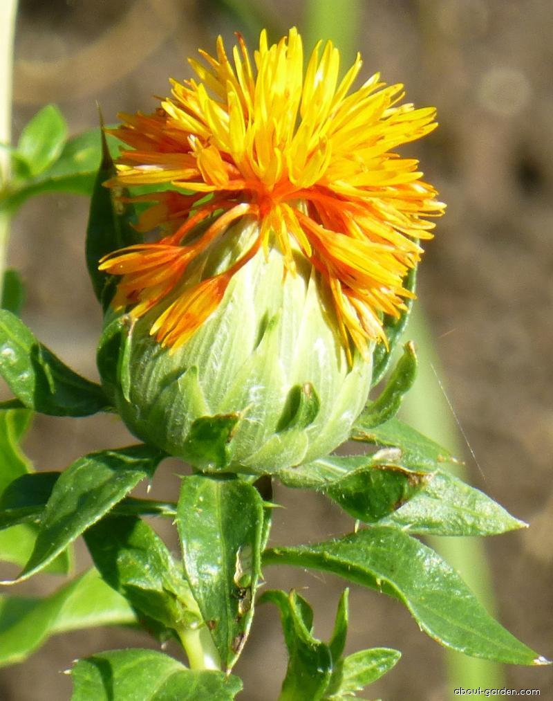 Světlice barvířská Orange Grenade - květ (Carthamus tinctorius)