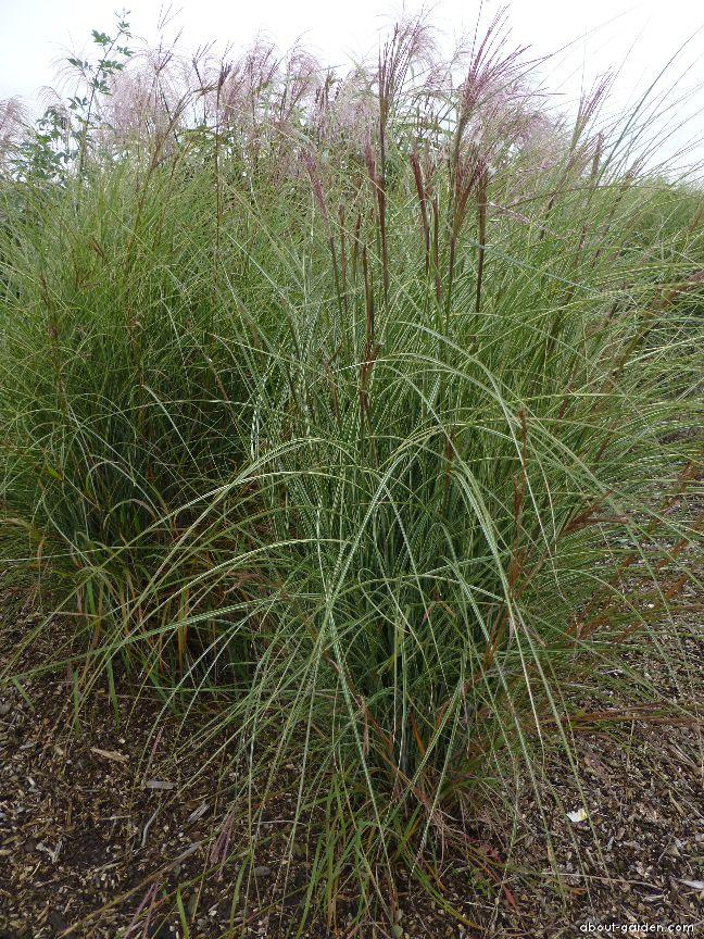 Chinese Silver Grass - Miscanthus sinensis Morning Light