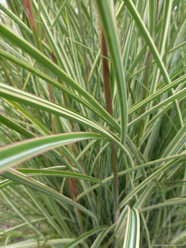 Miscanthus sinensis Morning Light (Chinese Silver Grass)