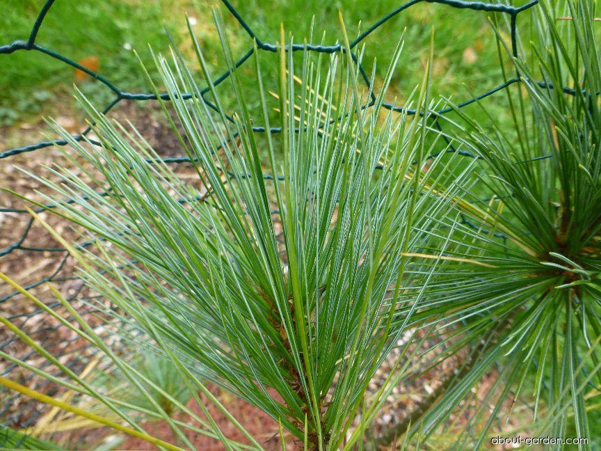 Borovice Stylesova - jehlice (Pinus stylesii)