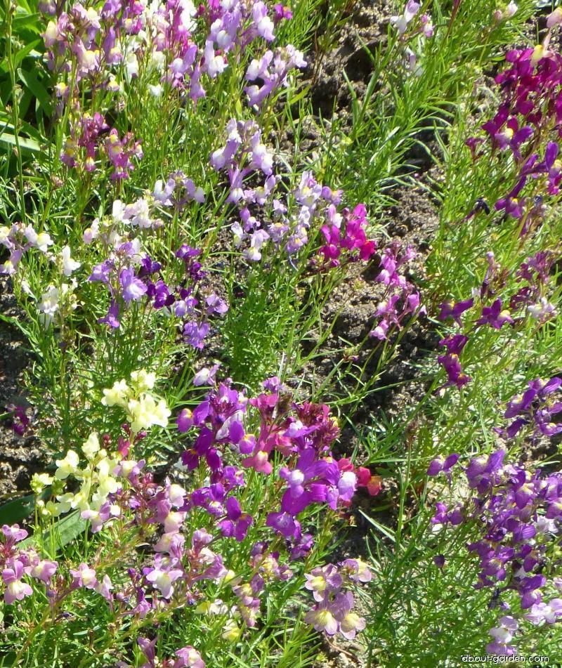Lnice (Linaria bipartita)