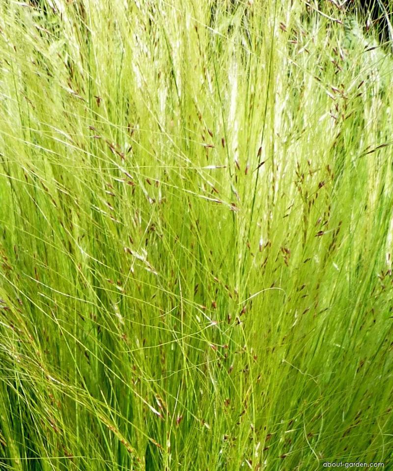 Kavyl (Stipa tenuissima)