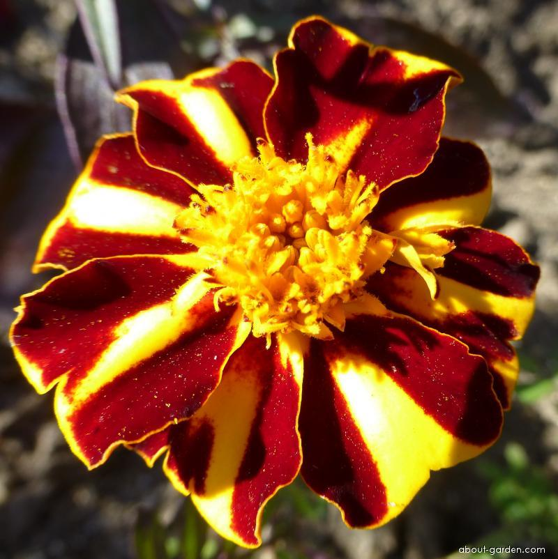 French Marigold - Tagetes patula Mr. Majestic