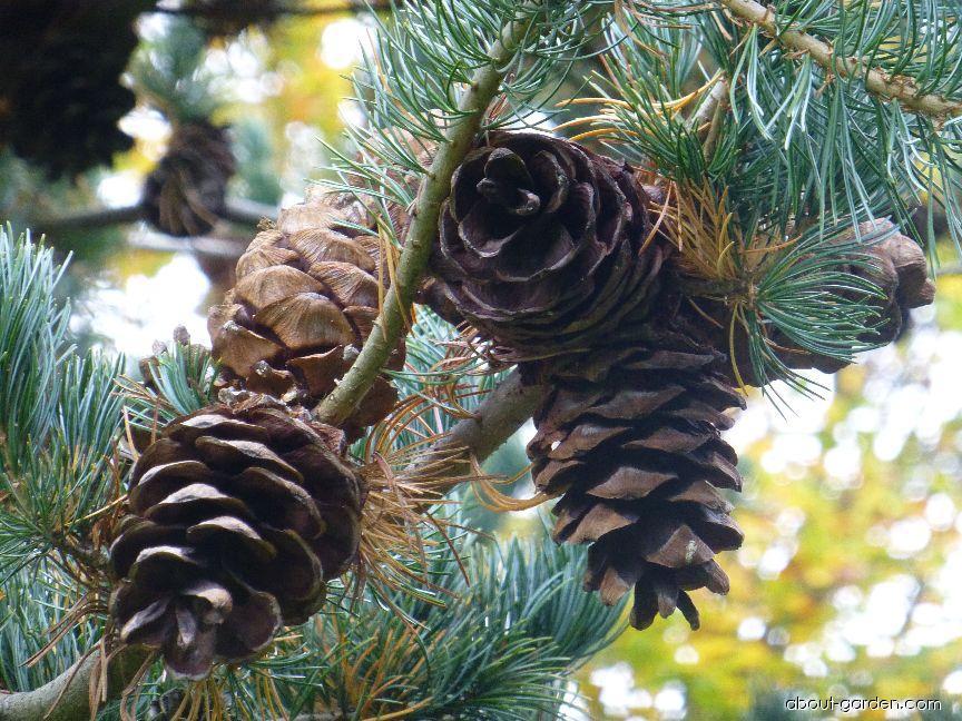 Borovice drobnokvětá Nisbeth - větévka se šiškami (Pinus parviflora)