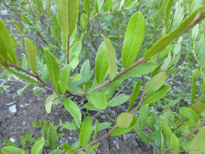 Leatherleaf - Chamaedaphne calyculata