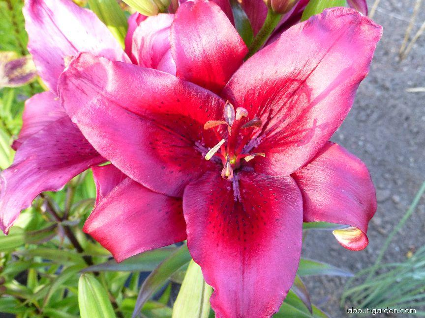 Lily - Lilium x hybridum Cocopa
