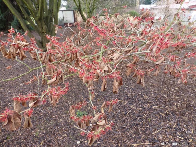 Hybrid Witch Hazel - Hamamelis x intermedia Carmine Red