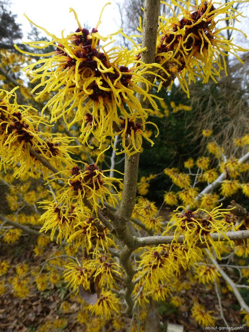 Hybrid Witch Hazel - Hamamelis x intermedia Barmstedt Gold