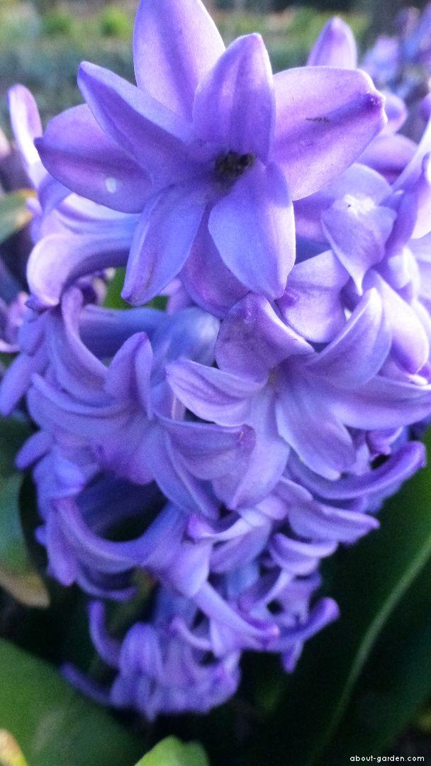 Common Hyacinth - Hyacinthus orientalis Minos